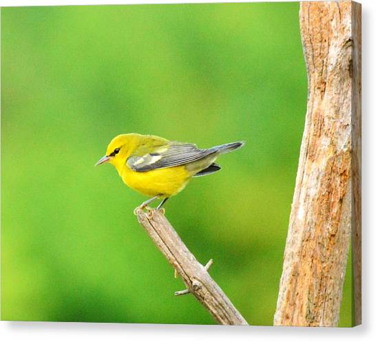Blue-winged Warbler Canvas Print by Judy Genovese