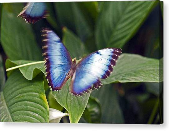 Blue Wings Canvas Print