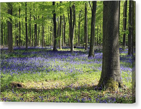Bluebell Wood Uk Canvas Print