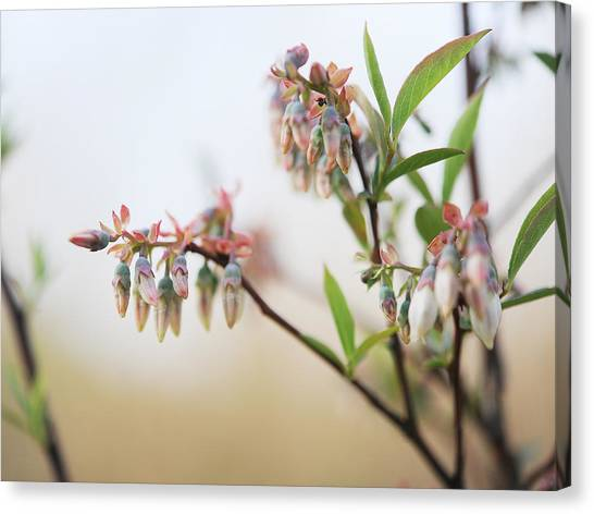 Blueberry Bush Canvas Print by Giffin Photography