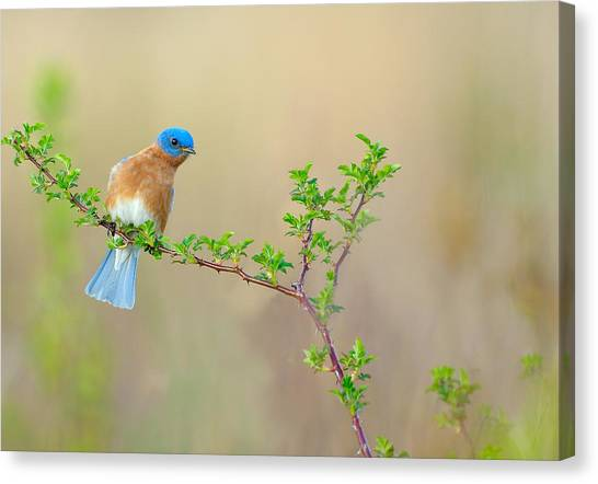 Bluebird Breeze Canvas Print