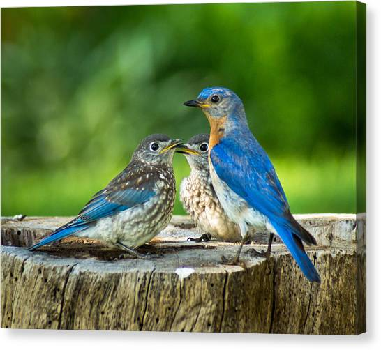 Bluebird - Father And Sons Canvas Print