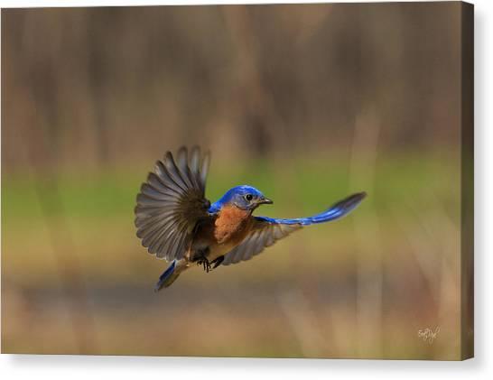 Bluebirds Canvas Print - Bluebird In Flight by Everet Regal