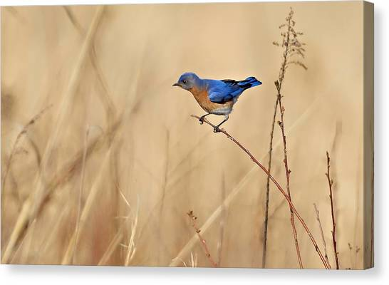 Bluebird Meadow Canvas Print