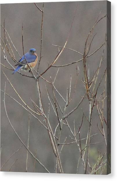 Bluebird On A Branch Canvas Print by Sarah Boyd
