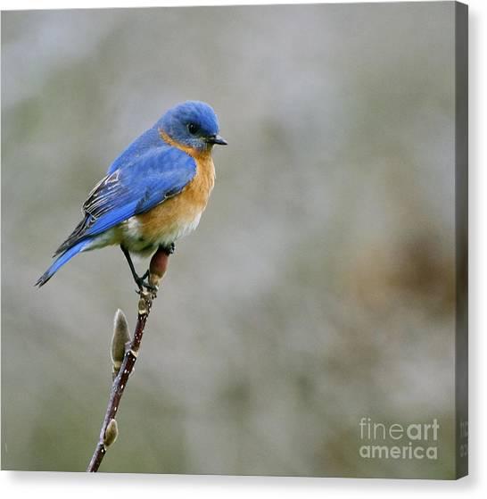 Bluebird On My Tree Canvas Print