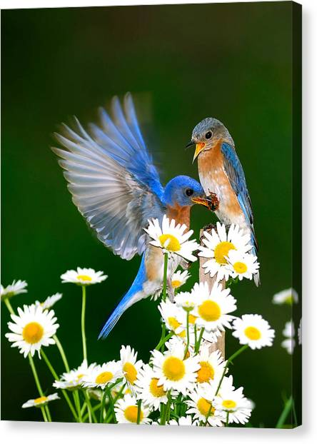 Bluebirds And Daisies Canvas Print
