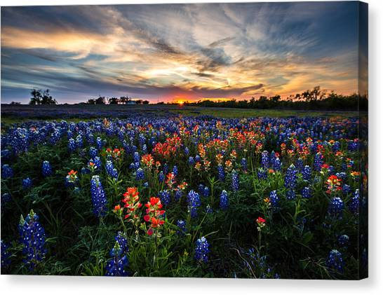 Bluebonnet Glory Canvas Print