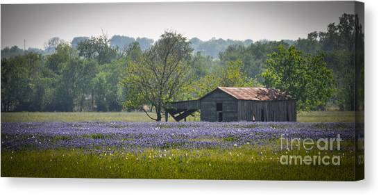 Bluebonnets By The Barn Canvas Print