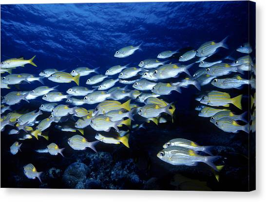 Bluelined Snappers And Yellowspot Emperors Canvas Print