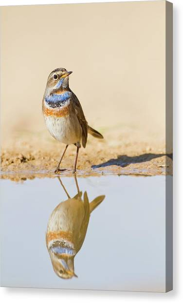 Flycatcher Canvas Print - Bluethroat (luscinia Svecica) by Photostock-israel