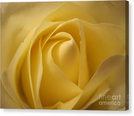 Blushing Cream Rose  Canvas Print