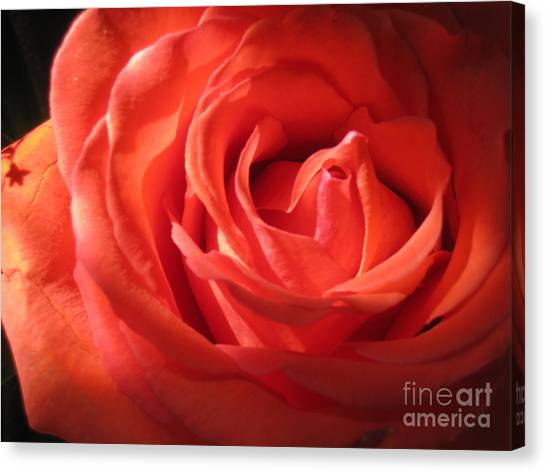 Blushing Orange Rose 1 Canvas Print