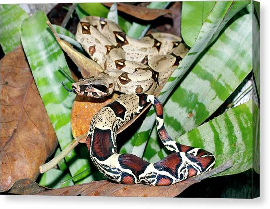 Amazon Rainforest Canvas Print - Boa Constrictor by Dr Morley Read/science Photo Library