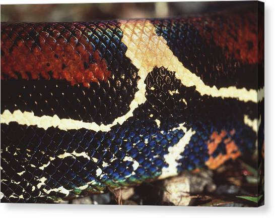 Boas Canvas Print - Boa Constrictor by Sinclair Stammers/science Photo Library