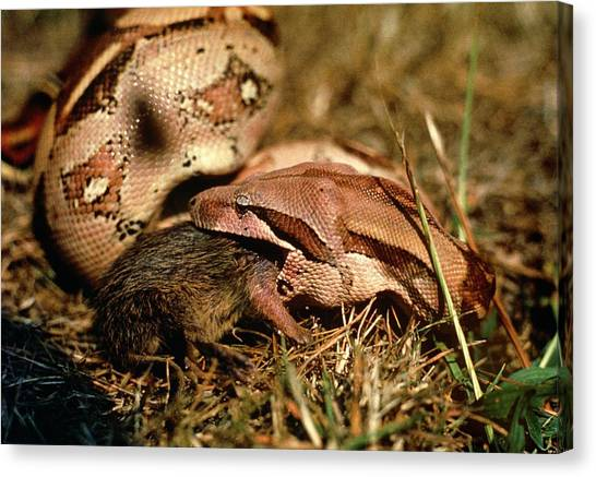 Boas Canvas Print - Boa Constrictor Swallowing Rat by Dr Morley Read/science Photo Library