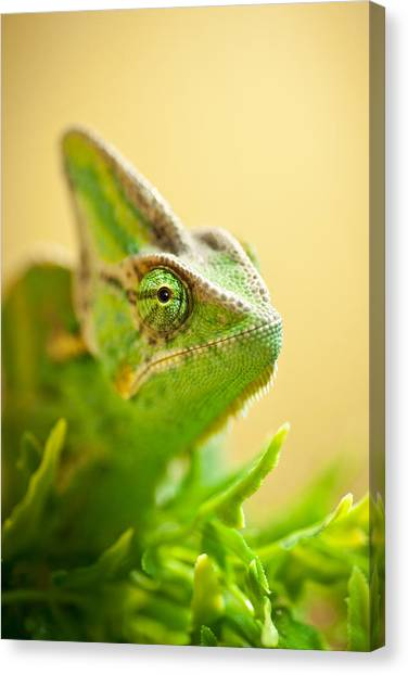 Lizards Canvas Print - Bob The Chameleon  by Samuel Whitton