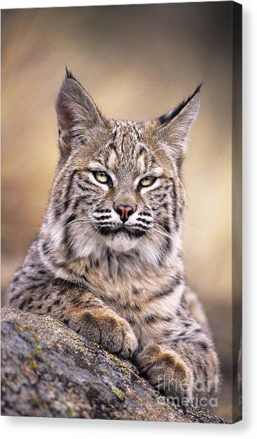 Bobcat Cub Portrait Montana Wildlife Canvas Print