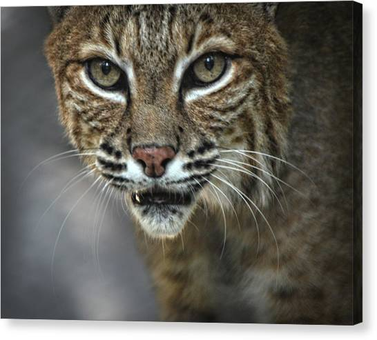 Bobcat Stare Canvas Print