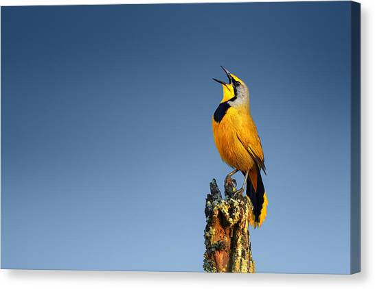 Perching Birds Canvas Print - Bokmakierie Bird Calling by Johan Swanepoel