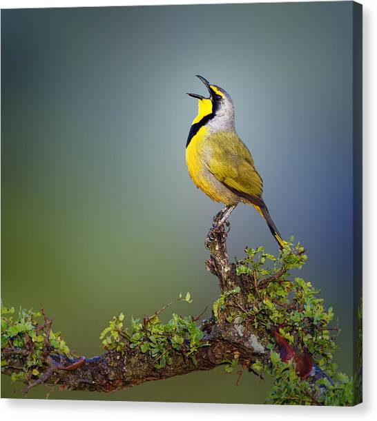 Perching Birds Canvas Print - Bokmakierie Bird - Telophorus Zeylonus by Johan Swanepoel