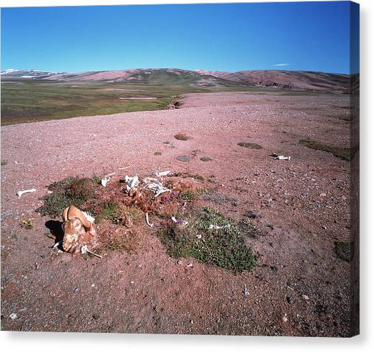 Tundras Canvas Print - Bones On The Tundra by Simon Fraser/science Photo Library
