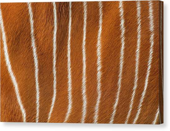 Bongos Canvas Print - Bongo Body Stripes by Frans Lanting, Mint Images / Science Photo Library
