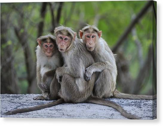 Animal Behaviour Canvas Print - Bonnet Macaque Trio Huddling India by Thomas Marent