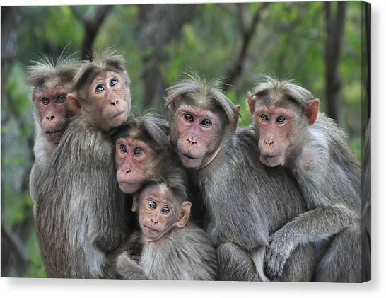 Animal Behaviour Canvas Print - Bonnet Macaques Huddling Western Ghats by Thomas Marent