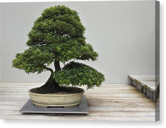 Bonsai Tree Grows In A Pot Canvas Print by Rafael Ben-Ari