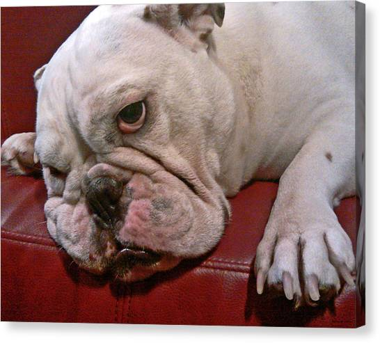 English Bull Dog Canvas Print - Booboo 04 by Jeff Stallard