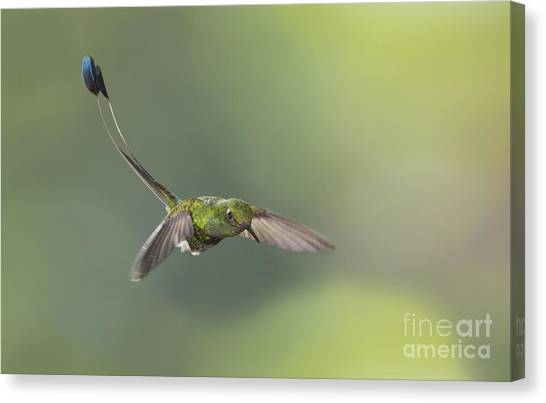 Booted Racket-tail Hummingbird Canvas Print