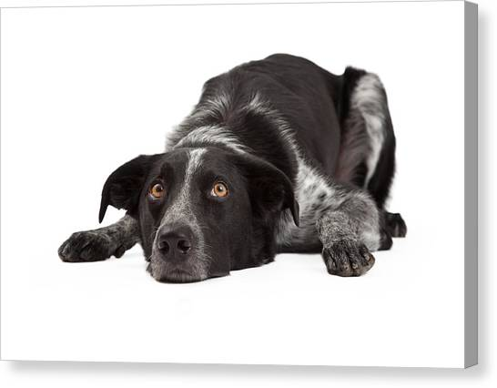 Border Collies Canvas Print - Border Collie Laying Head Down by Susan Schmitz