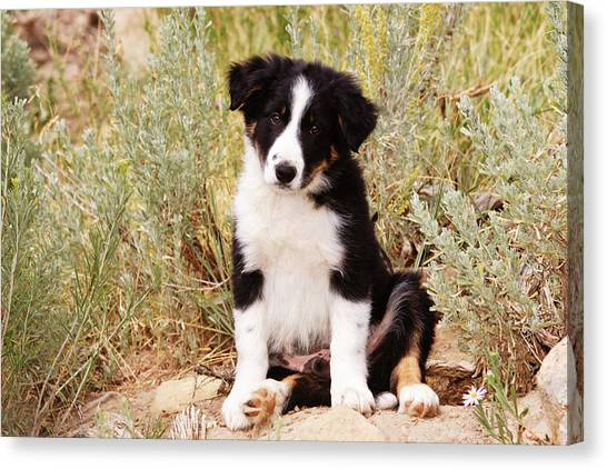 Border Collies Canvas Print - Border Collie Puppy Sitting On Rock by Piperanne Worcester