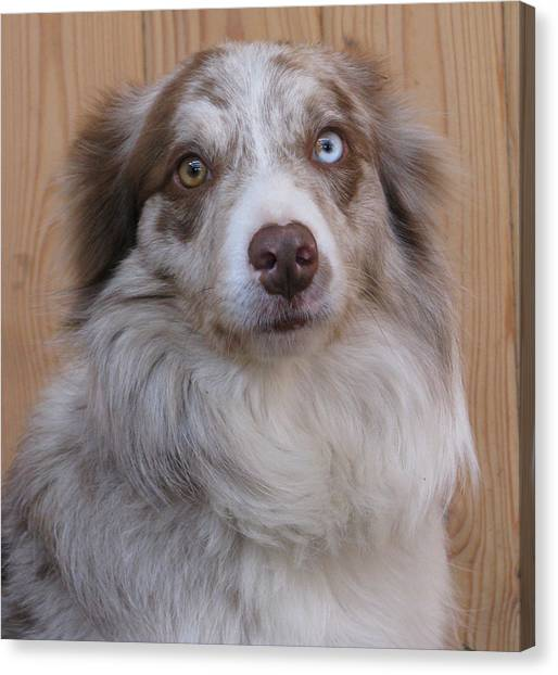 Border Collie With Blue-eyed Canvas Print