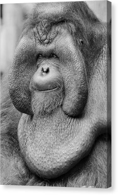 Orangutans Canvas Print - Bornean Orangutan IIi by Lourry Legarde