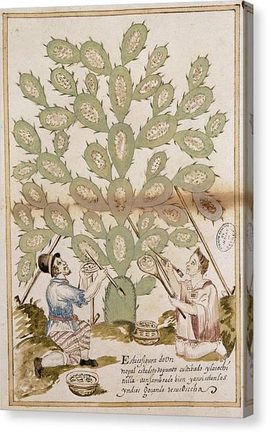 Dye Canvas Print - Botany Prickly Pear by Granger