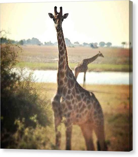 Beagles Canvas Print - #botswana #love #giraffe by Caitlin Beagle