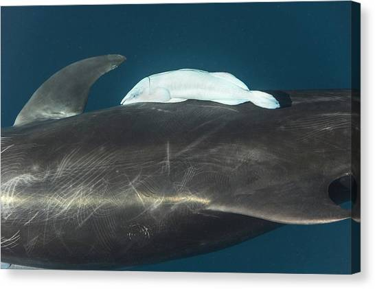 Bottlenose Dolphins Canvas Print - Bottlenose Dolphin And Remora by Christopher Swann