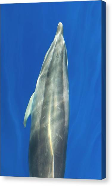 Bottlenose Dolphins Canvas Print - Bottlenose Dolphin Bow-riding by Christopher Swann/science Photo Library