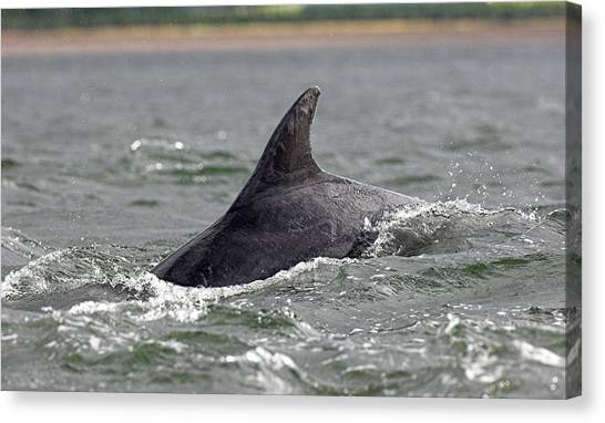 Bottlenose Dolphins Canvas Print - Bottlenose Dolphin by Duncan Shaw/science Photo Library