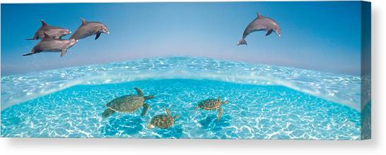 Bottlenose Dolphins Canvas Print - Bottlenose Dolphin Jumping While by Panoramic Images