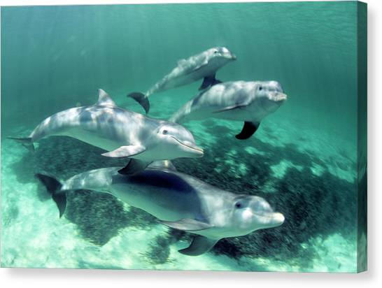 Bottlenose Dolphins Canvas Print - Bottlenose Dolphin Pod by Louise Murray/science Photo Library