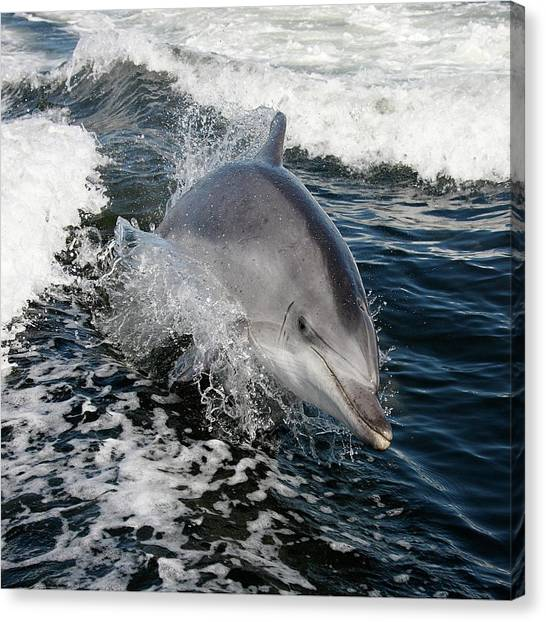 Bottlenose Dolphins Canvas Print - Bottlenose Dolphin by Steve Allen/science Photo Library