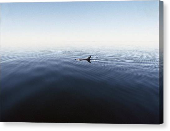 Bottlenose Dolphins Canvas Print - Bottlenose Dolphin Surfacing Shark Bay by Flip Nicklin