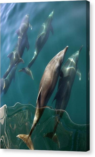 Bottlenose Dolphins Canvas Print - Bottlenose Dolphins Bow-riding by Christopher Swann/science Photo Library