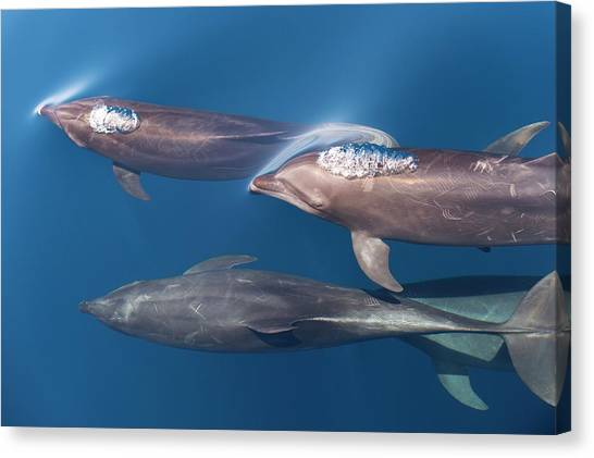 Bottlenose Dolphins Canvas Print - Bottlenose Dolphins by Christopher Swann