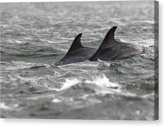 Bottlenose Dolphins Canvas Print - Bottlenose Dolphins by Duncan Shaw/science Photo Library