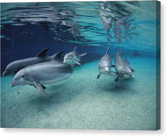 Bottlenose Dolphins Canvas Print - Bottlenose Dolphins In Shallow Water by Flip Nicklin