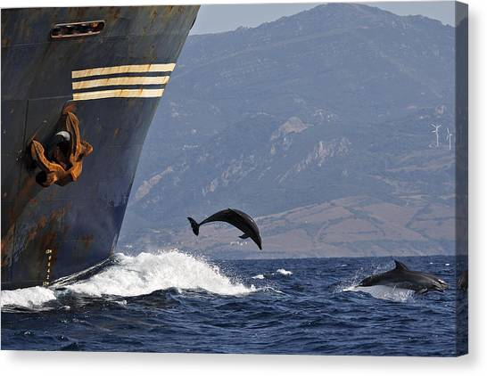 Bottlenose Dolphins Canvas Print - Bottlenose Dolphins Playing by M. Watson